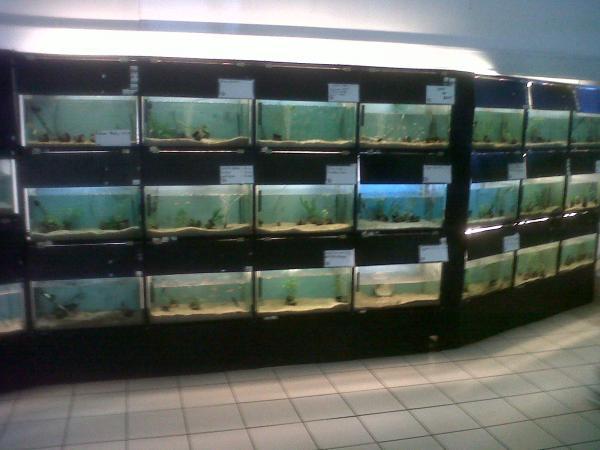 fish--koi
