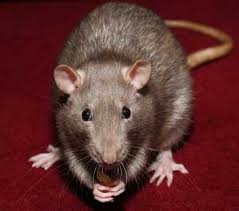 mice--rats